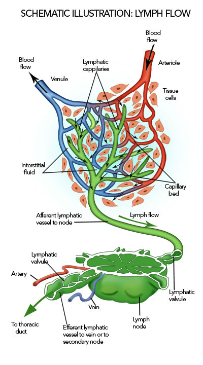 lymph flow